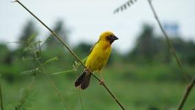 Oriole Bird Royalty-vrije Stock Foto