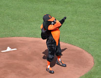 Oriole Bird. Baltimore,Maryland – August 24, 2013: The Baltimore Orioles team mascot cheering on the baseball mound before a game at Camden Yards on August 24 Stock Image