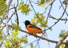 Oriole bird. 's that hang out in our yard every summer Royalty Free Stock Photos
