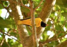 Oriole Bird On The Tree à capuchon noire Photo libre de droits