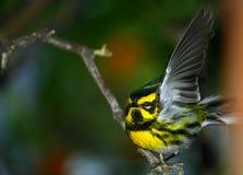 Oriole Bird Stock Photos
