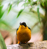 Oriole royalty free stock photography