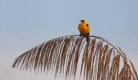 Oriole Blackbird on branch Royalty Free Stock Image