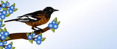 Oriole on Branch Stock Image