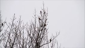 Oriole congregation nesting in tree top branches. Oriole birds gathering, flocking and congregating in tree branches against a cloudy sky stock video footage