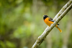 oriole d'oiseau de Baltimore Photos stock