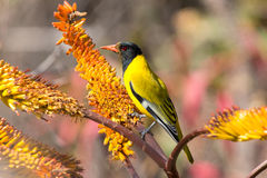 Oriole de cabeza negra que se sienta en abejas amarillas de la captura del áloe Foto de archivo libre de regalías