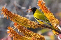 Oriole de cabeza negra que se sienta en abejas amarillas de la captura del áloe Fotos de archivo libres de regalías