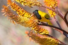 Oriole de cabeza negra que se sienta en abejas amarillas de la captura del áloe Imagenes de archivo