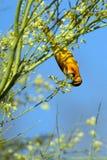 Oriole del manzo, bullockii del Icterus Fotografie Stock Libere da Diritti