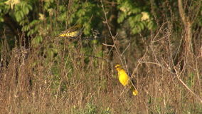 Oriole dourado do pássaro no campo da mola filme