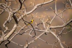 Oriole dourado euro-asiático - pássaro passerine do oriolus do Oriolus na família do oriole clicada no keoladeo, bharatpur imagem de stock royalty free
