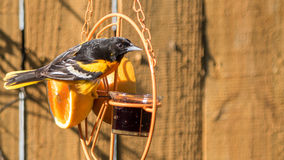 Oriole eating jelly Royalty Free Stock Photography