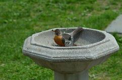 Oriole en la fuente que tiene un baño Imagen de archivo