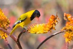oriole Falta-dirigido que se sienta en abeja amarilla de la captura del áloe Foto de archivo
