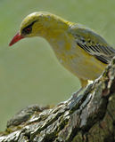 Oriole; golden oriole. Adult oriole in Bavarian, springtime Stock Images