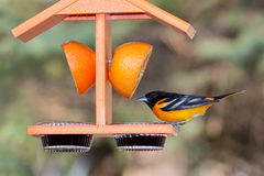 Oriole and Grape Jelly. A baltimore oriole sits atop an orange colored feeder. His dinner options include, a juicy orange  and sweet grape jelly. background Stock Photos