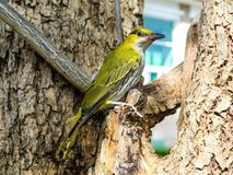 Oriole hang on branch and looking something around tree. In the city Royalty Free Stock Photo