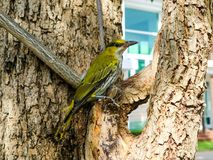 Oriole hang on branch and looking something around tree. In the city Stock Images