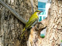 Oriole hang on branch and looking something around tree. In the city Stock Photos