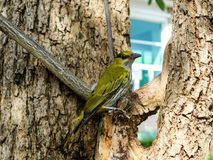 Oriole hang on branch and looking something around tree. In the city Stock Photography