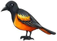 Oriole Royalty Free Stock Photos