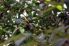 Oriole Negro-Naped Foto de archivo libre de regalías