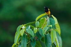 Oriole Nero-incappucciato, prosthemelas dell'ittero, sedentesi sul ramo verde del muschio Uccello tropicale nell'habitat della na fotografia stock libera da diritti