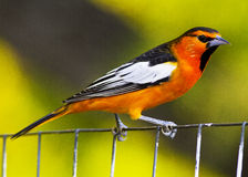 Oriole Perching on Wire Fence. This is a male Bullock's oriole perching on a wire fence.  Bullock's orioles are found in the western half of the United States Royalty Free Stock Images