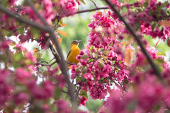 Oriole and pink blossoms stock photo