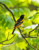 An Oriole Posing. The Baltimore Oriole, a beautiful bird with orange and black coloring, perching in high branches Stock Photos