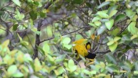 Oriole preto-naped do pássaro em uma natureza selvagem video estoque