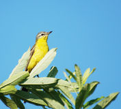Oriole sitting on a branch Royalty Free Stock Photo