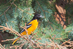 Oriole in a spruce tree. Profile of a bright orange male oriole perched in a blue spruce pine tree stock image