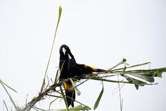 oriole tailed yellow Arkivfoto
