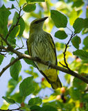 Oriole in a tree Stock Image