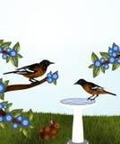 Orioles och fågelbad Arkivbild