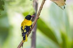 oriolo Nero-incappucciato nel parco nazionale di Minneriya, Sri Lanka Fotografia Stock Libera da Diritti