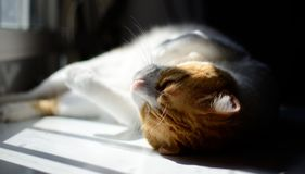 Orion playing and relaxing cat royalty free stock photography
