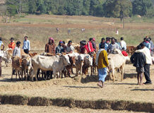 Orissa tribal rural cattle weekly market Stock Image