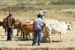 Orissa tribal rural cattle weekly market Royalty Free Stock Photo