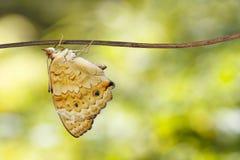 Orithya bleu masculin Linnaeus de Junonia de papillon de pensée sur la brindille Image libre de droits