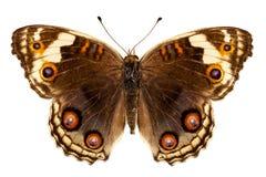 Orithya de Junonia d'espèce de guindineau Images stock