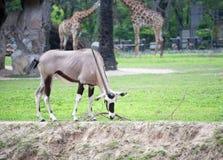 Orix в зоопарке Стоковое Изображение RF