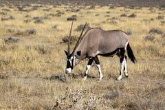 Orix в Намибии Стоковое Изображение RF