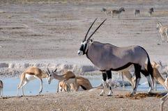 Orix (Gemsbok) And Springbok Royalty Free Stock Photos