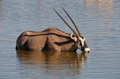 Orix (Gemsbok) drinking water Royalty Free Stock Images