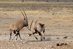 Orix (Gemsbok) Fighting Royalty Free Stock Photos