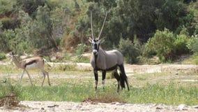 Orix. Gemsbok Kaokaland Namibia desert Royalty Free Stock Image