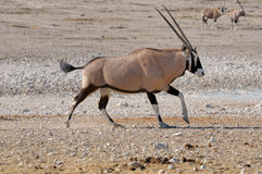 Orix (Gemsbok) running Royalty Free Stock Photography